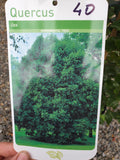 Evergreen Oak (Quercus ilex)