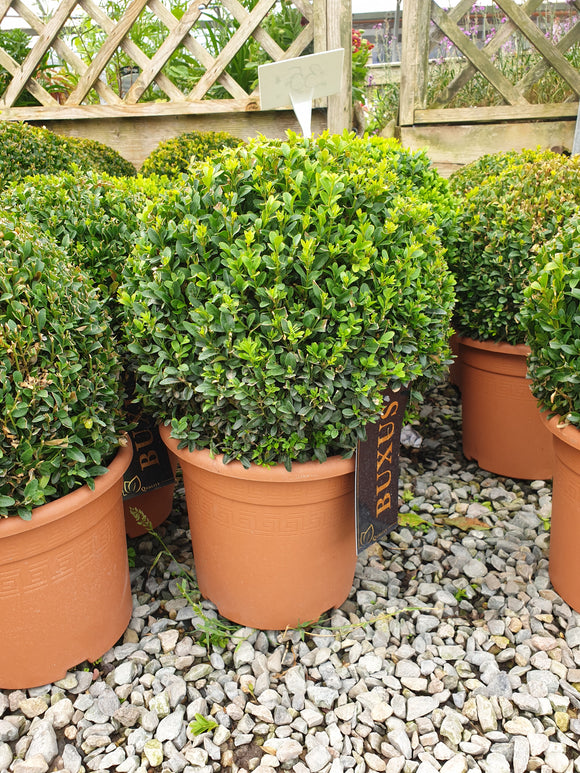 Buxus (Small sphere)