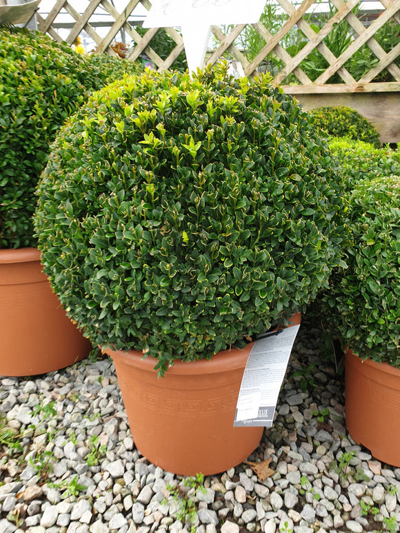 Buxus(Medium sphere)