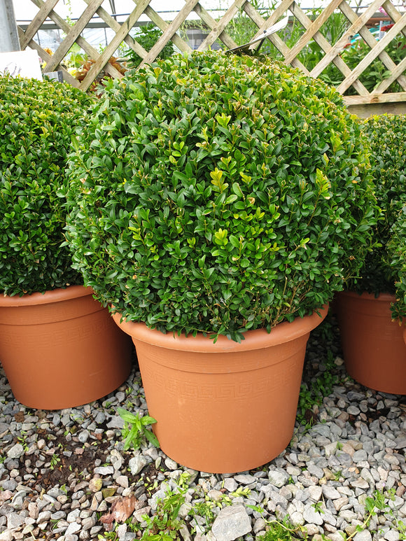 Buxus (Large Sphere)