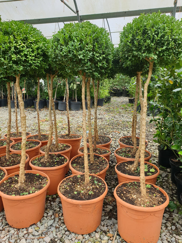 Buxus (Lollipop)