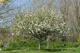 Trees - Apple Discovery (Malus Domestica)