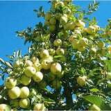 Golden Delicious (Malus Domestica)