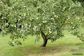 Trees - Apple Granny Smith (Malus Domestica)