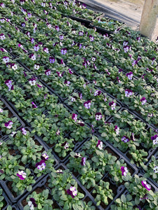 Bedding Plants - Violas Purple and Violet