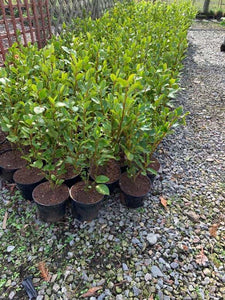 Grisilena Hedge 3-4ft