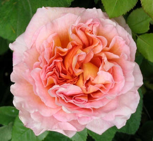 Rose - David Austin Abraham Darby