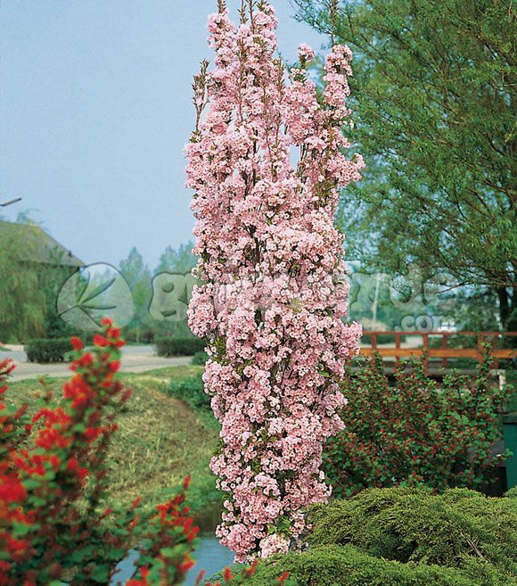 Flagpole Cherry