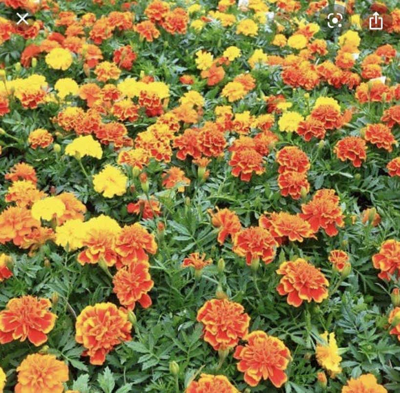 Bedding French Marigolds