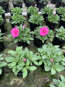 Bedding Petunia (Safinia) Soft Pink