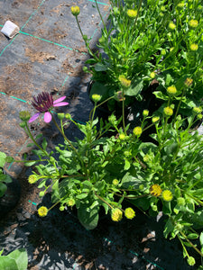 Bedding Osteospermum Purple