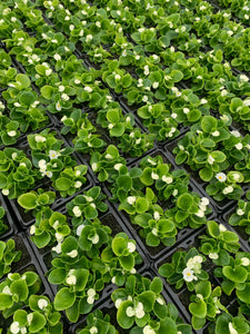 Bedding Plants - Begonia Green Leaf White Flower