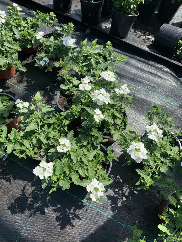 Bedding - White Verbena Trailing