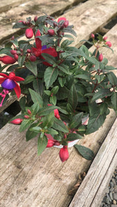 Bedding Plants - Fuchsia