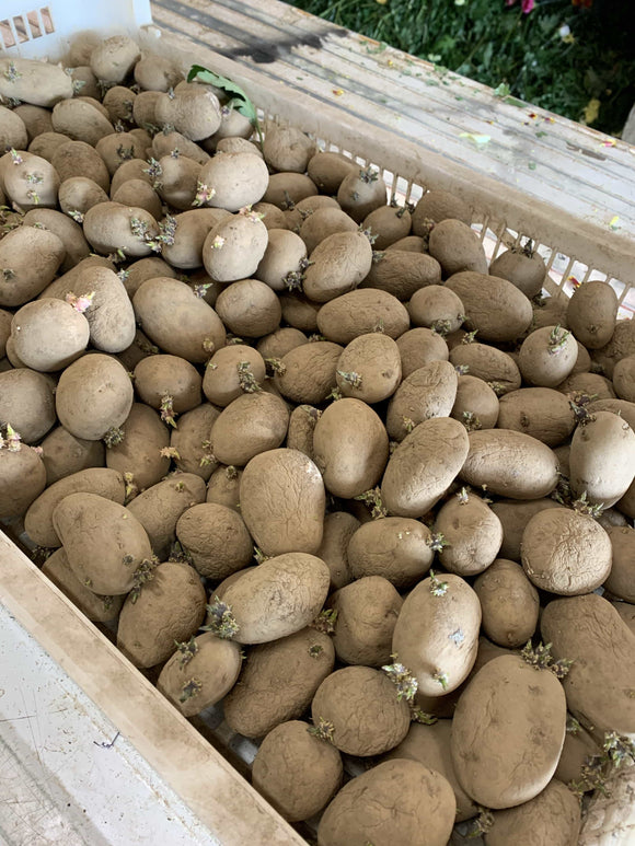 Veg - Seed Potatoes-Maris Piper