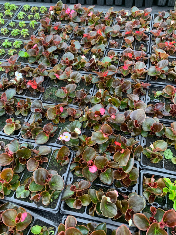 Bedding Plants - Begonia Brown Leaf Mixed Colours