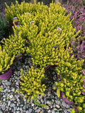 Yellow Heathers 2litre Pot