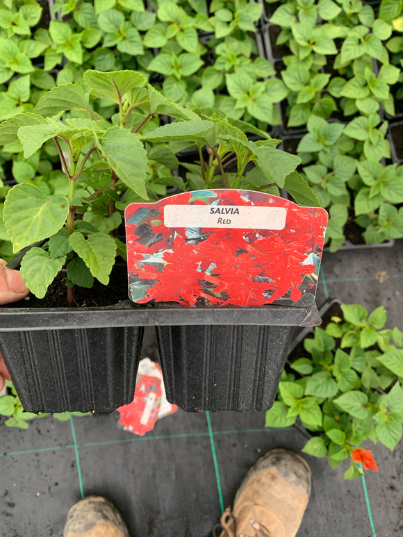 Bedding Plants - Salvia Red