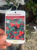 "Cotoneaster ""Coral Beauty"""