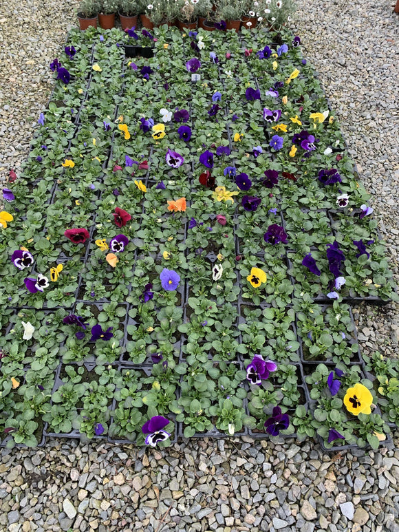 Bedding Plants - Pansys
