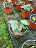 Bedding Plants - Begonia Trailing Red