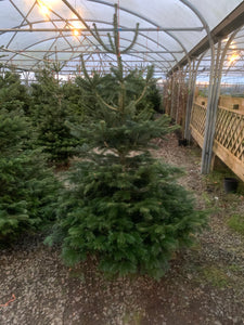 Non Shed Christmas Tree 6 - 8ft