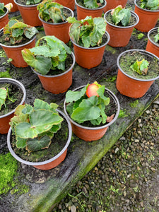 Bedding - Begonia Apricot Trailing