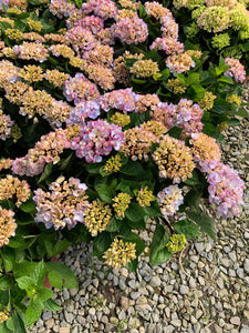 "Hydrangea ""Light Purple"""