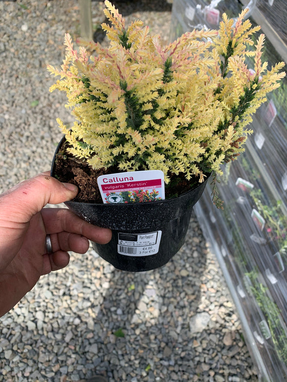 White Heathers 2litre Pot