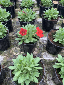 Bedding Petunia (Safinia) Red