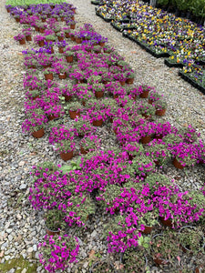 Bedding Plants - Arabis