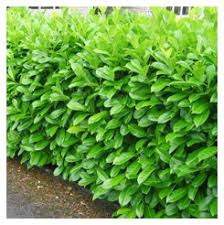 Laurel Hedging (Small)