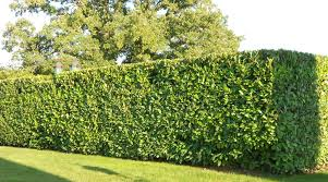 Laurel Hedging (Large)