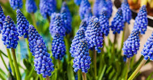 Muscari Bulbs Blue
