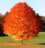 October Glory/Red Maple ( Acer Rubrum)