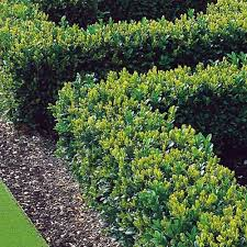 Buxus Hedging (Small)