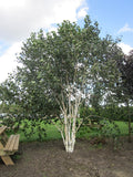 White Stem Birch (Betula- Jacquemontii)