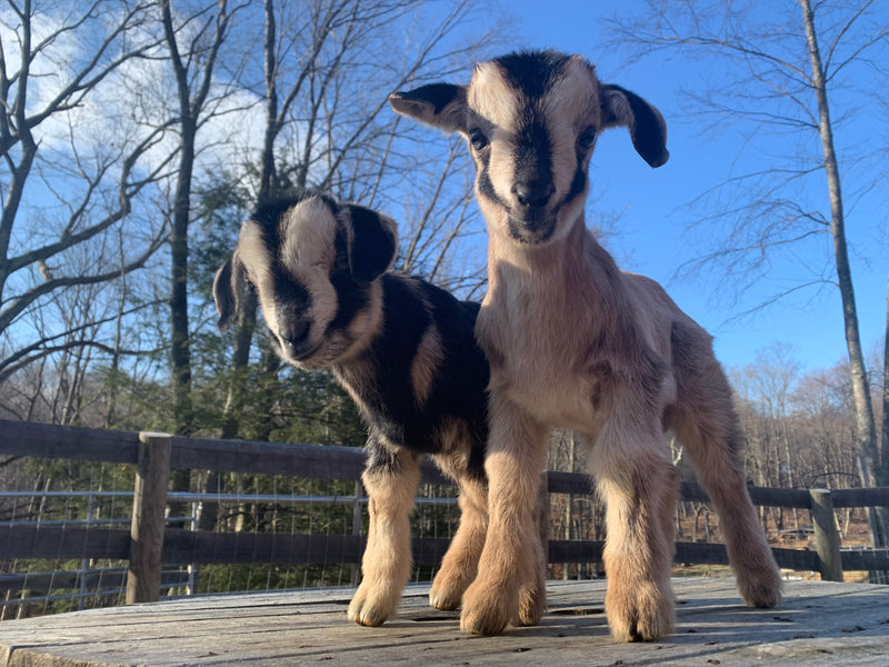 Paternity Testing for Promiscuous Goats