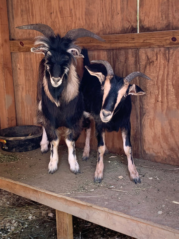 Visible differences between Kai (left, intact buckling), and Ari (right, wethered male)