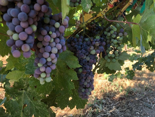 Veraison-The Onset of Ripening!