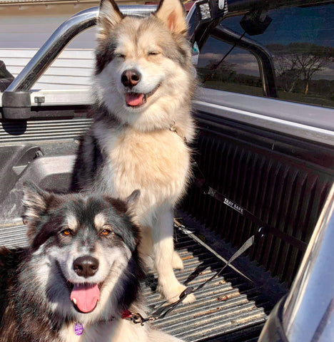 Tray Safe T Double Trouble - Ute tray safety restraint- Secure both your dogs to the Ute Tray - Skulldrag Industries