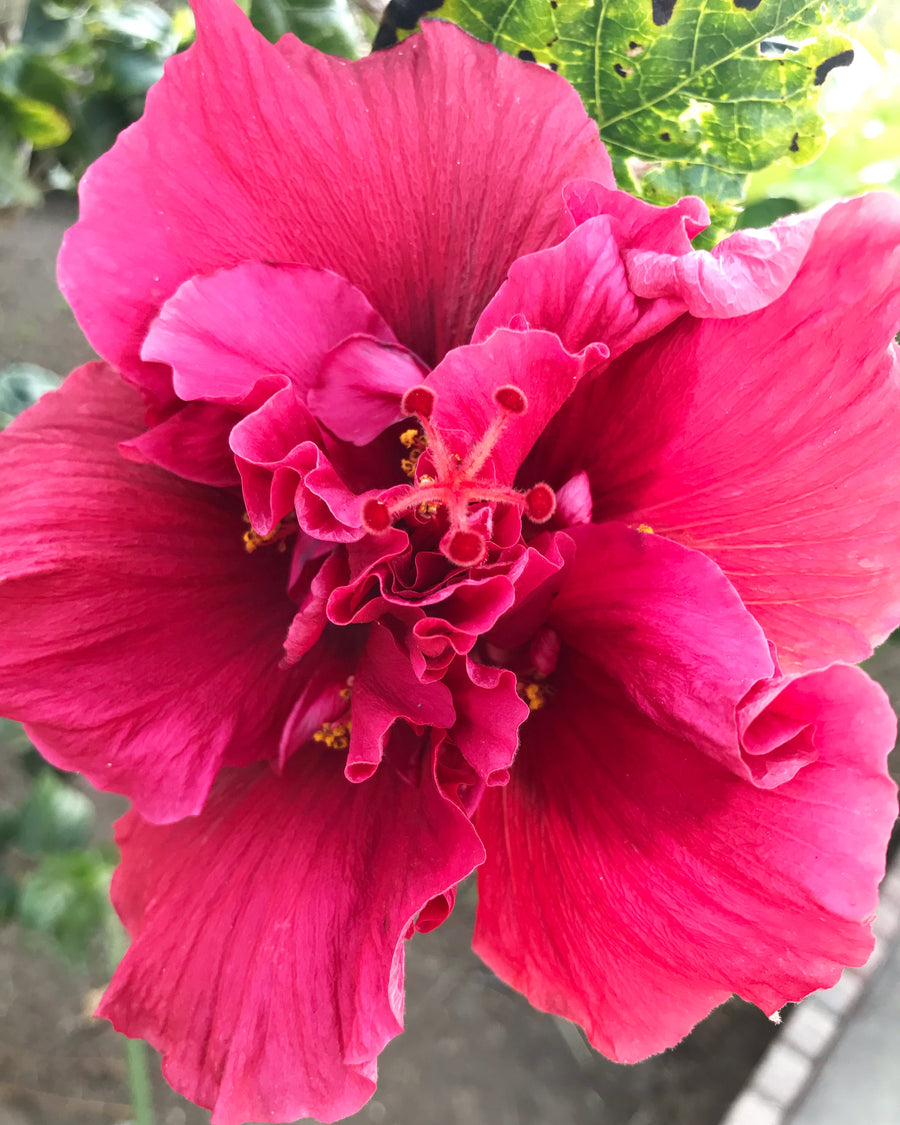 LIFE OF HIBISCUS - ARTIST PHOTOGRAPHY