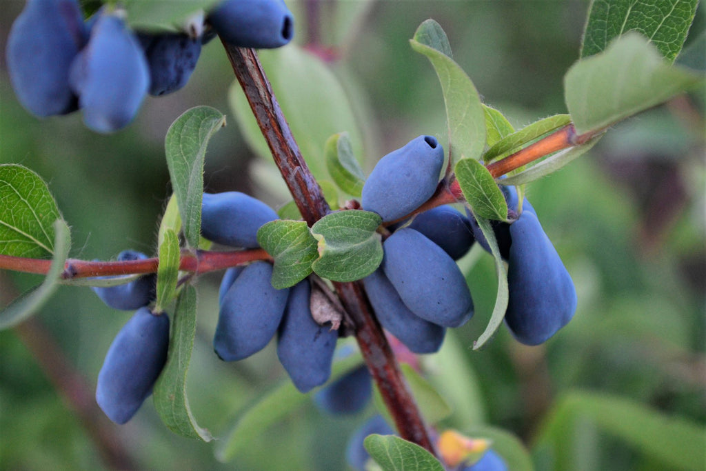 Origins of haskap superberry in traditional medicine