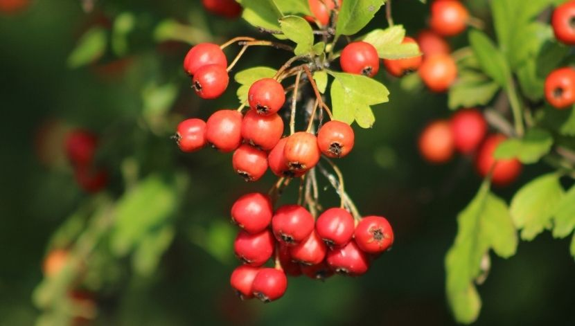 Hawthorn in nature