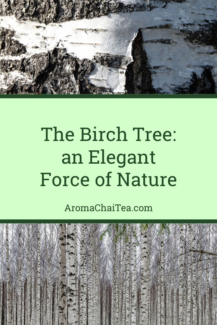 The Birch Tree: an Elegant Force of Nature