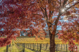 Autumn Vines, Southern Highlands