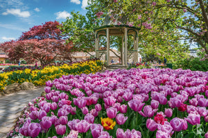 Tulip Time, Southern Highlands (AB047R)