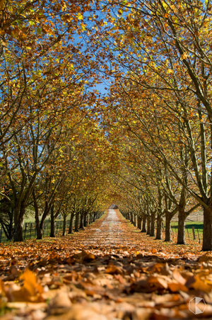 Autumn Driveway, Southern Highlands, NSW (AB003RV)