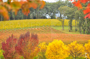 Autumn Vineyard, Southern Highlands, NSW (AB007R)