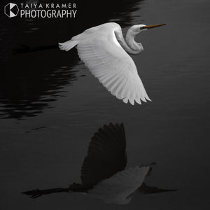 Murray the Great Egret, Outback NSW
